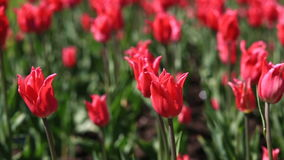 Flowerbed of many fresh red tulips flowers in city park. Flowerbed of many fresh red, white and pink tulips flowers in city park. Many fresh red, white and pink stock video footage
