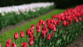 Flowerbed of many fresh red, white and pink tulips flowers in city park. Many fresh red, white and pink vivid tulips in urban park. Beautiful natural stock footage