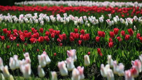 Flowerbed of many fresh red, white and pink tulips flowers in city park. Many fresh red, white and pink vivid tulips in urban park. Beautiful natural stock video footage