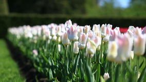 Flowerbed of many fresh white and pink tulips flowers in city park. Flowerbed of many fresh red, white and pink tulips flowers in city park. Many fresh red stock video footage