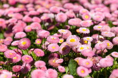 Flowerbed with marguerites Stock Images