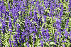 The flowerbed of Mealy sage Stock Photos