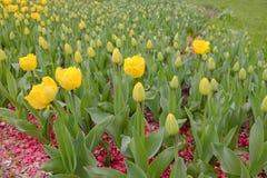 Flowerbed mit Tulpen Lizenzfreie Stockfotografie