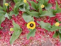 Flowerbed mit Tulpen Stockbild