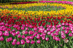 A flowerbed of multicolored tulips Stock Image