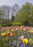 Flowerbed of multicolored tulips in park  Royalty Free Stock Images
