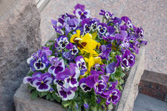 Flowerbed with multicolored violet flowers on a Arbat Street in Moscow. Flowerbed with multicolored violet flowers on a Arbat Street in Moscow, Russia Stock Photos