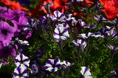 Flowerbed with multicoloured purple and violet petunias. Macro shot of beautiful colourful petunia Petunia hybrida flower. S Royalty Free Stock Image