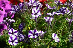 Flowerbed with multicoloured purple and violet petunias. Macro shot of beautiful colourful petunia Petunia hybrida flower. S royalty free stock photography