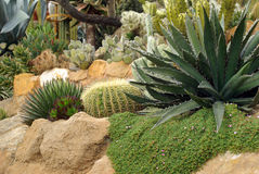 Flowerbed Of The Cactus Royalty Free Stock Image