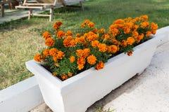 Flowerbed with orange marigold flowers in garden Stock Photos