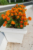 Flowerbed with orange marigold flowers in garden Royalty Free Stock Photo