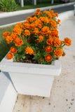 Flowerbed with orange marigold flowers in garden Royalty Free Stock Photo
