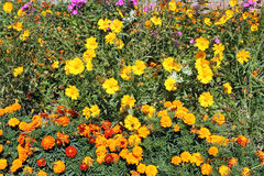Flowerbed with Orange Mexican marigold and coreopsis yellow flowers Royalty Free Stock Image