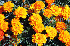 Flowerbed with Orange Mexican marigold flowers Royalty Free Stock Photo