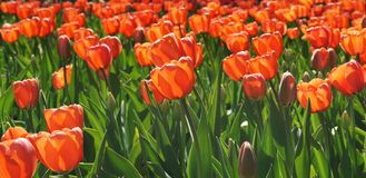 Flowerbed orange tulips on the sun royalty free stock images