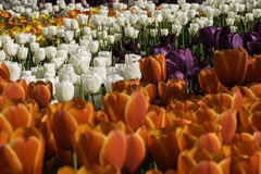 Flowerbed with orange, white and purple tulips at outdoor park.  Stock Photos