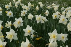 Flowerbed Orchestra of white daffodils - France Stock Photos