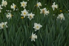 Flowerbed Orchestra of white daffodils - Front view Royalty Free Stock Photos