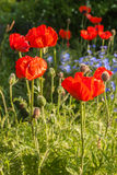 Flowerbed with oriental poppies and decorative blue linen Stock Photos