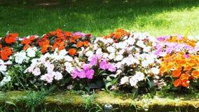 Flowerbed panoramic spring season. Flowerbed panoramic in spring season stock video footage