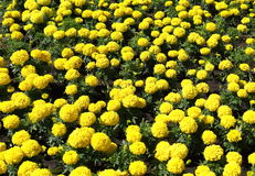 Flowerbed in a park with bright yellow flowers. Stock Photography