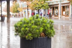 Flowerbed with pine branches on the Nicolae Balcescu street in a  rainy day. Sibiu city in Romania. Flowerbed with pine branches on the Nicolae Balcescu street Stock Image