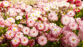 Flowerbed with pink daisies Stock Image