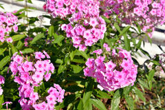 Flowerbed with pink flowers. Stock Photo
