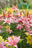 Flowerbed. With pink and orange flowers of lilies Stock Photos