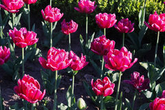Flowerbed with pink tulips Stock Image