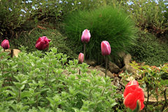 Flowerbed with pink tulips and forget-me-not, shallow depth of field Stock Photos