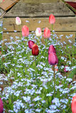 Flowerbed with pink tulips and forget-me-not, shallow depth of field Stock Images