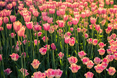 The flowerbed with pink tulips on on long stems in the sunlight. Royalty Free Stock Photography