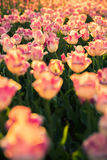 The flowerbed with pink-white tulips. The flowerbed with pink-white tulips on sunset Stock Photography
