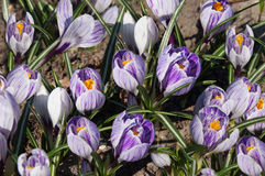 The flowerbed of purple Crocus. Stock Image