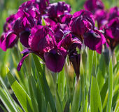 Flowerbed of purple irises Royalty Free Stock Images