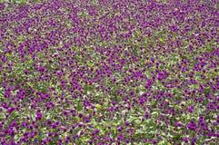 flowerbed purpurowy zdjęcia royalty free