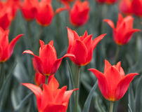 Flowerbed with red buds tulips Stock Photo