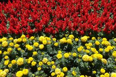 Flowerbed - red tropical sage and yellow marigold. Flower bed - red tropical sage and yellow marigold royalty free stock images