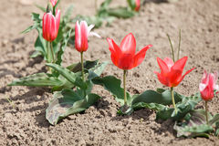 Flowerbed with red tulips Stock Photo