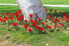 Flowerbed of red tulips around sycamore in Topkapi palace Stock Images