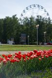 Flowerbed with red tulips on background of city park with ferris wheel royalty free stock photos