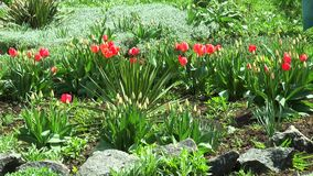 Flowerbed with red tulips. In early spring stock video