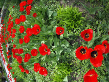Flowerbed with red tulips. With wide angle fisheye lens view royalty free stock image