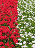 Flowerbed red & white. Flowerbed vertical shot Royalty Free Stock Image