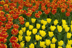 Flowerbed of red and yellow tulips Stock Images