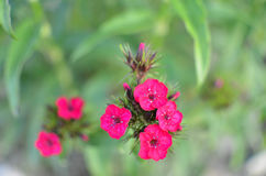 Flowerbed with Rose campion Lychnis coronaria Stock Images