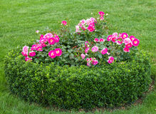 Flowerbed with roses Stock Photo