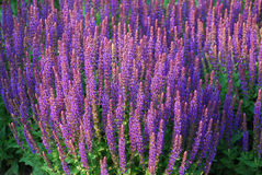 Flowerbed of Salvia Stock Photos